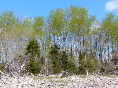 Woodland coming into leaf behind the driftwood and stones of Crystal Cliffs Beach