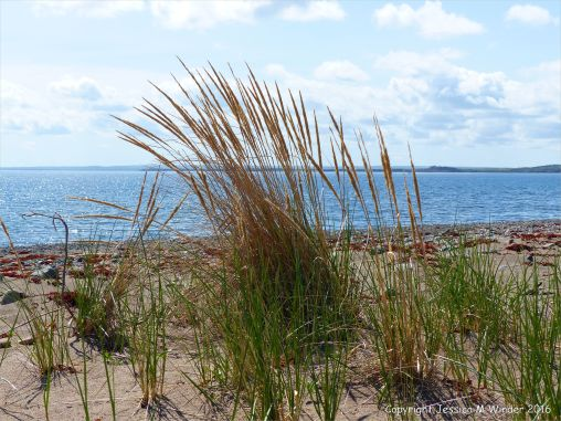 Marram grass on top of the spit at Crystal Cliffs Beach