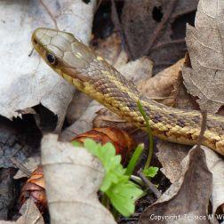 Snake in St Ann's Provincial Park