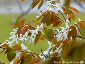 White flowers on a tree at St Ann's Provincial Park