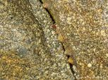 Natural rock pattern and texture in wet Herm Granodiorite with limpets