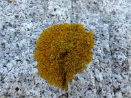 Rock texture and natural pattern in Herm Granodiorite with yellow lichen