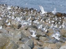 Gulls congregating near a land fill site on the coast