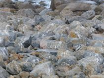 Gull droppings on rocks near a landfill site