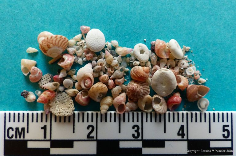 Image showing size of small seashells in shell sand from Herm in the Channel Islands