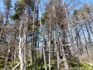 Stunted conifers of the Acadian Forest near Morning Star Cove