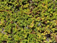 Crowberry plants in spring