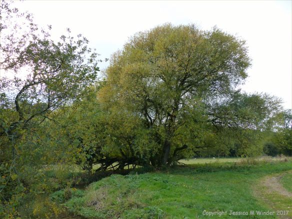 Willow tree on the bank of a stream