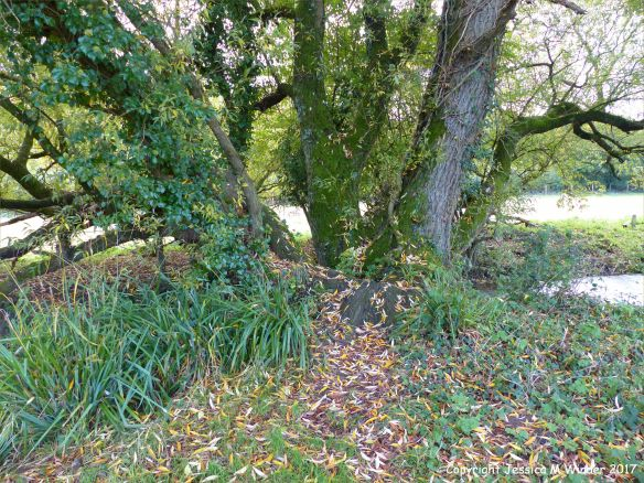 Autumnal leaves around the base of a stream bank willow tree