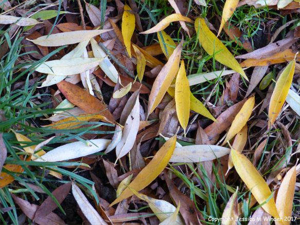 Dead willow leaves on grass