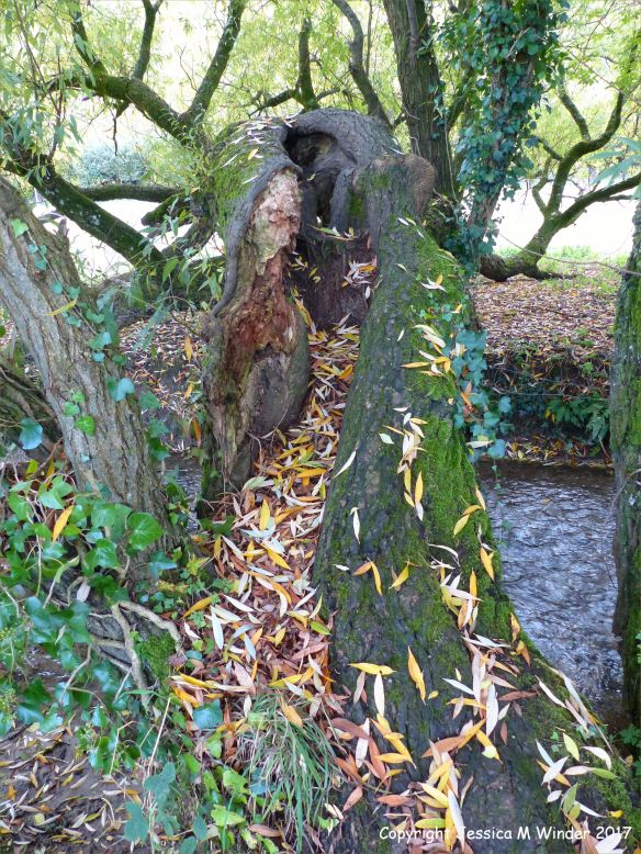 Willow tree trunk with dead leaves