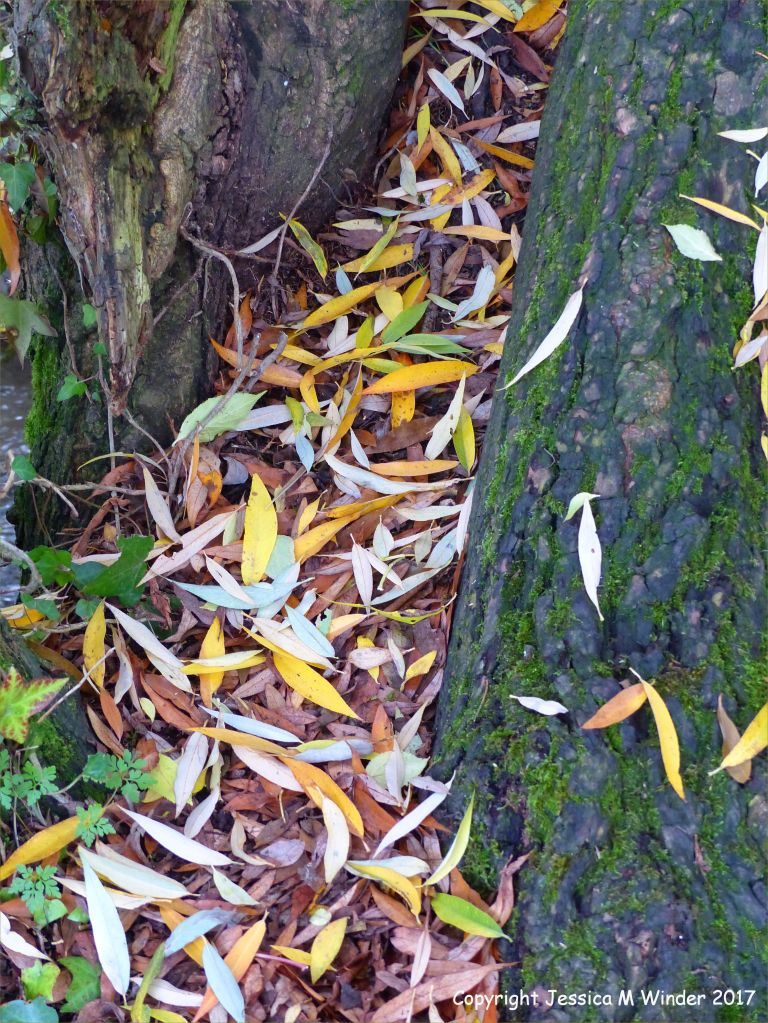 Dead willow leaves naturally collected in tree trunk