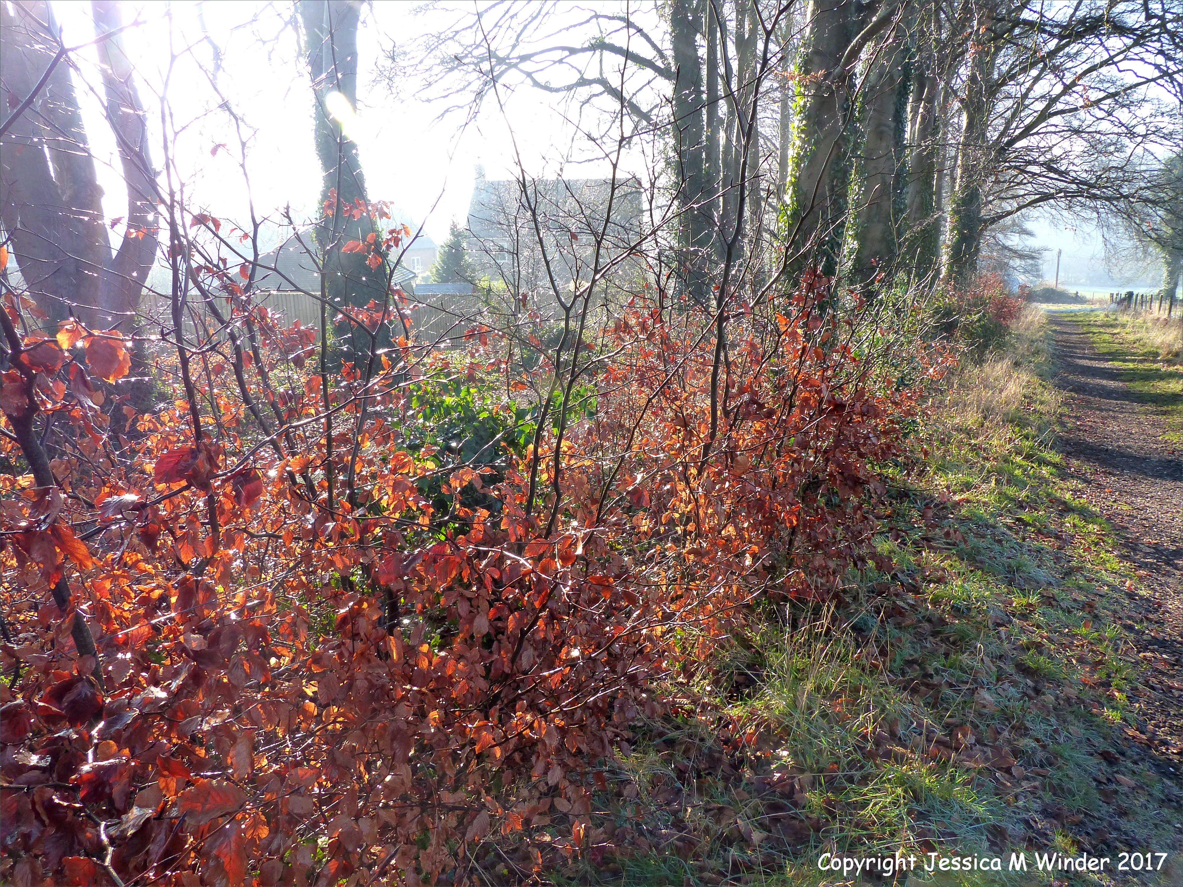Thawing Hoar Frost on Beech Saplings – Jessica's Nature Blog