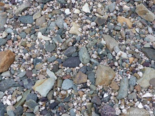 Beach stones and winkle shells at Fourchu Head