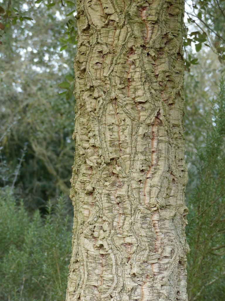 Cork Oak bark pattern