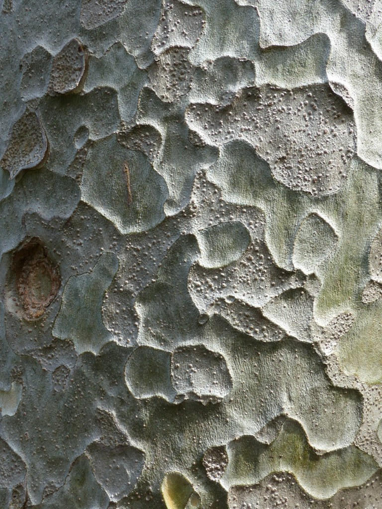 Natural pattern and textures in Lacebark Pine