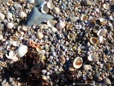 Seashells and granite granules at Rousse Point
