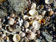 Seashells and granite granules at Rousse Point