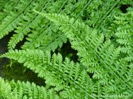 Ferns in the Princess of Wales Consevatory at Kew Gardens