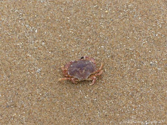 Lost baby crab on the sand at Rhossili