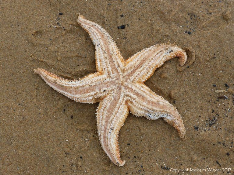 Dead starfish on the sand showing underside
