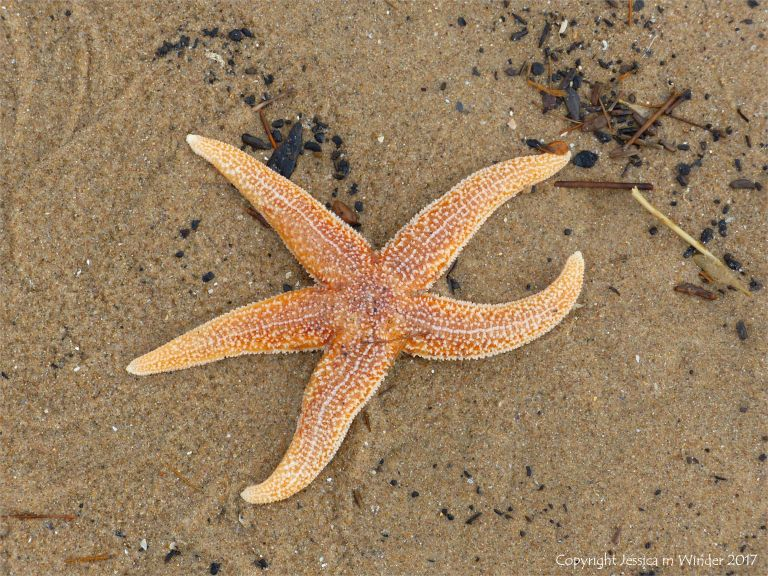 Dead starfish on the sand showing top side