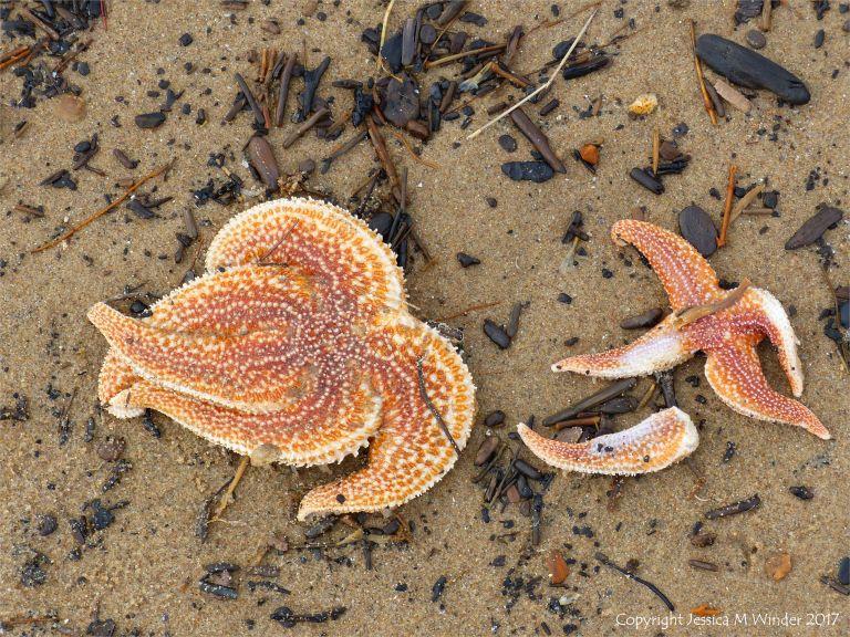 Dead starfish on the Rhossili strandline