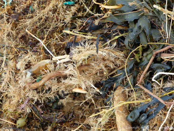 Hydroids and fucoids on the strandline at Rhossili