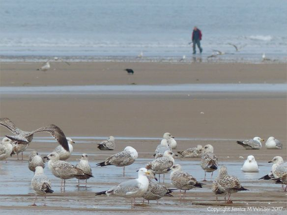 Congregation of gulls on the sand at Rhossili