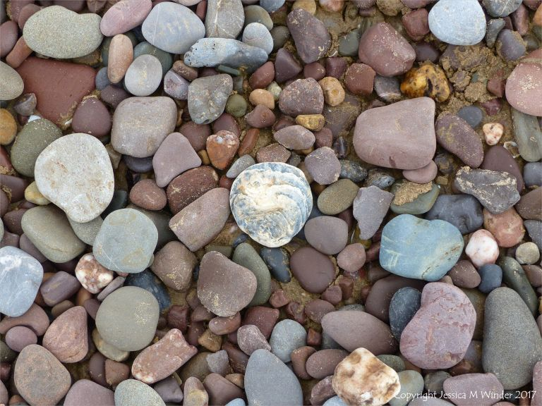 Oyster shell on pebbles at Rhossili, Gower.