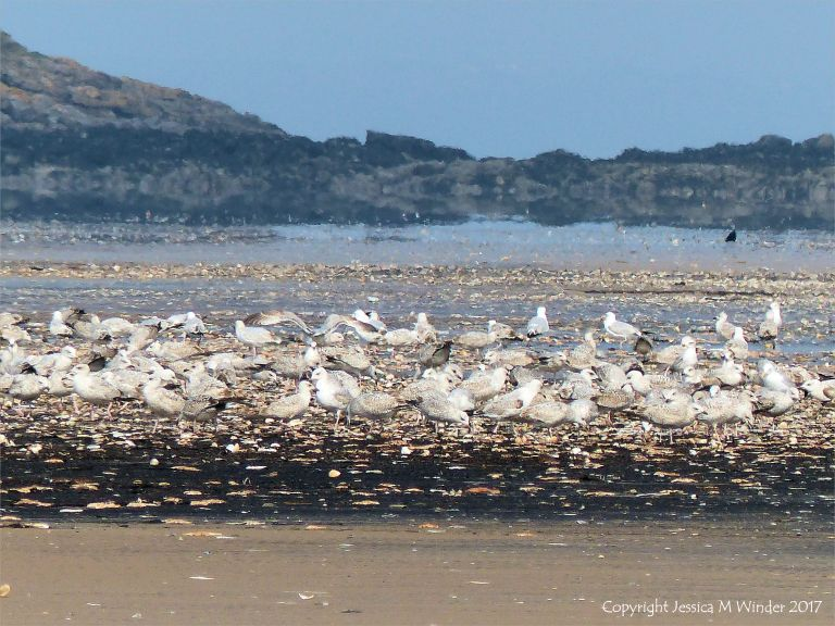 Young gulls feasting on starfish and molluscs washed up on the Rhossili strandline