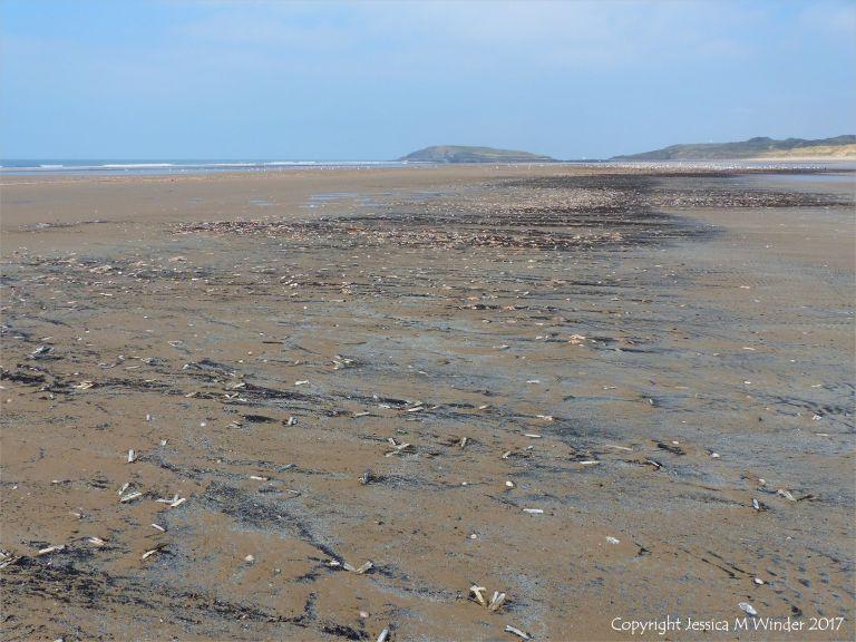 Strandline of dead seashore creatures at Rhossili in Gower
