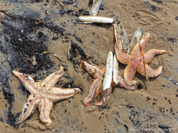 Starfish and seashells washed up on Rhossili beach