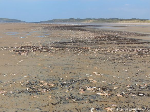 Strandline of dead starfish winding into the distance at Rhossili in Gower