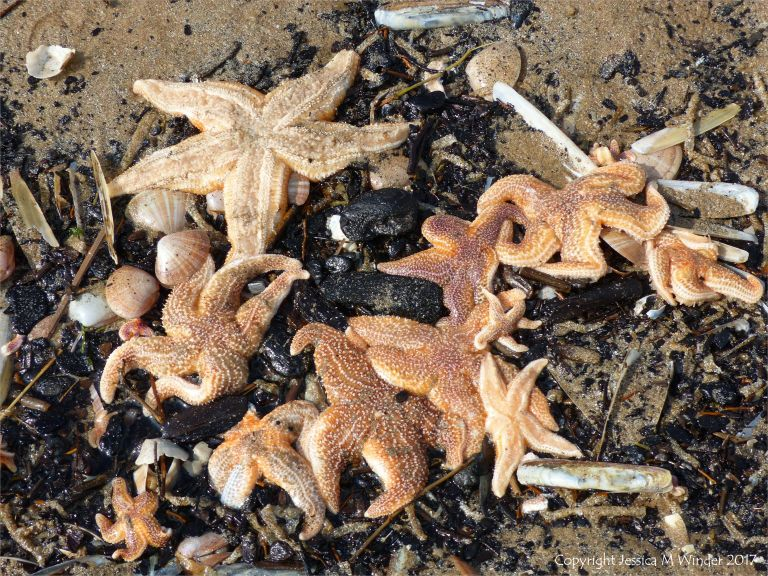Dead starfish washed up with the tide at Rhossili in Gower