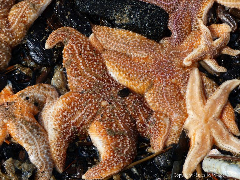 Dead common starfishes (Asterias rubens) washed up on the strandline at Rhossili in Gower