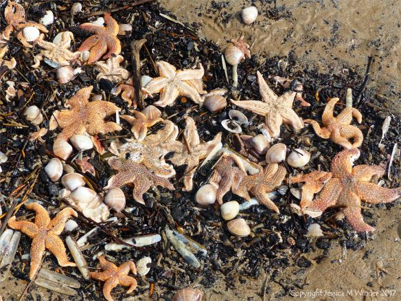 Dead starfishes and other seashore creatures on the strandline at Rhossili in Gower