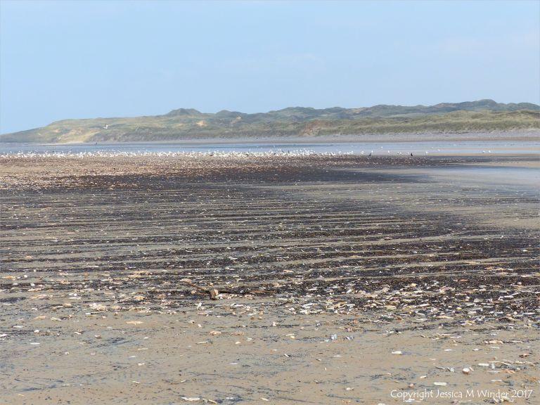 Dark driftline with masses of dead starfish on Rhossili beach in Gower