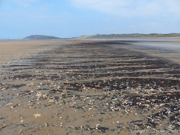 Mass stranding of starfish and other seashore creatures on Rhossili beach