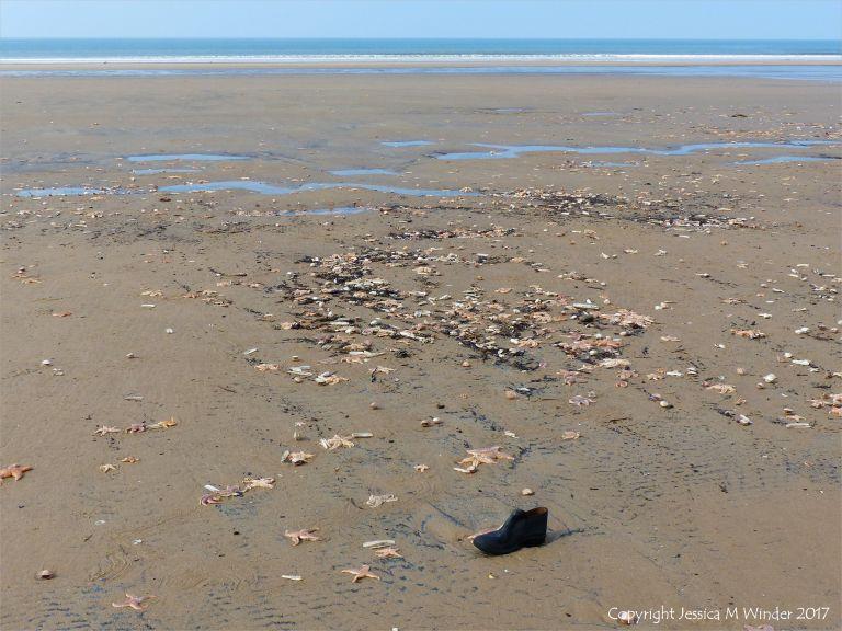 Mass stranding of starfish and other seashore creatures on Rhossili beach