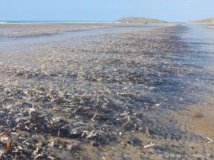 Seashells (mostly Pharus legumen) with fine black detritus on the strandline at Rhossili in Gower, South Wales