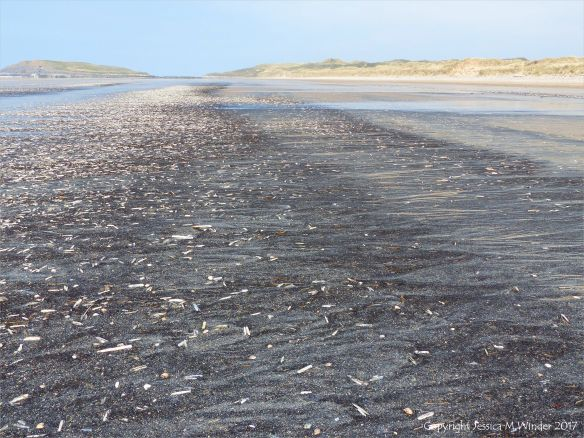 Seashells (mostly Pharus legumen) with fine black detritus on the strandline at Rhossili in Gower, South Wales