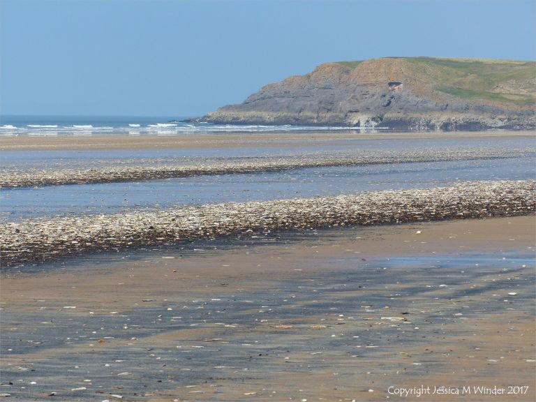 Seashells and starfish stranded on the sandy beach at Rhossili in Gower, South Wales.