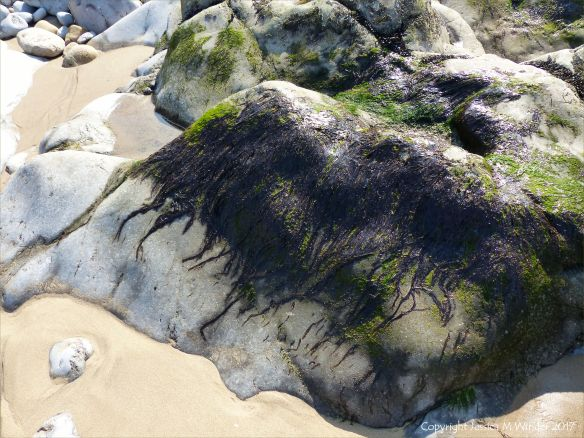 Dried seaweed on rock at Spaniard Rocks