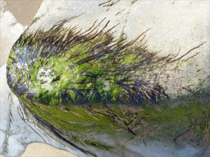 Dried seaweed on rock at Spaniard Rocks