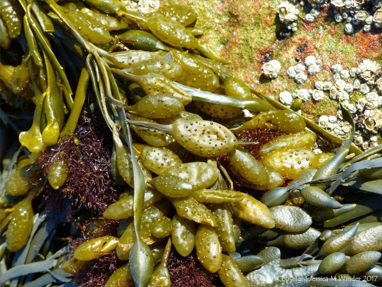Female Knotted or Egg Wrack at Spaniard Rocks
