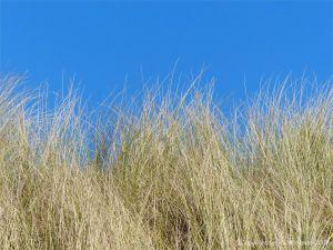 Dry marram grass against the blue sky at Rhossili Beach