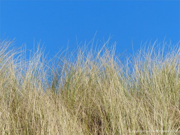 Dry marram grass against the blue sky at Rhossili Beach