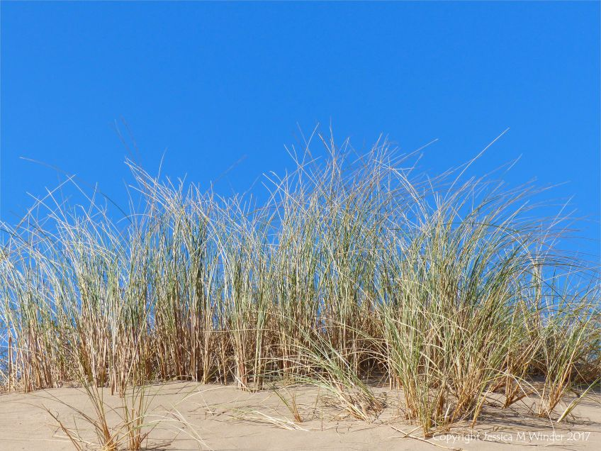 Marram grass growing on top of a sand dune