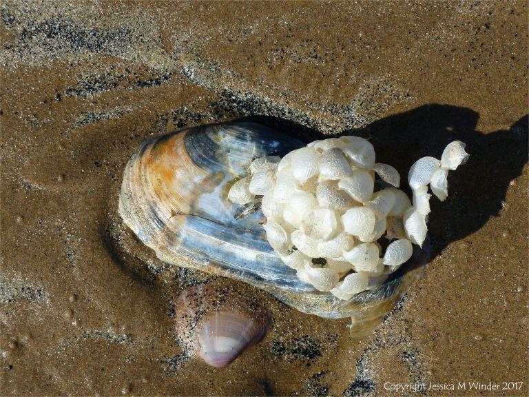 Empty whelk egg cases on an otter shell on the seashore